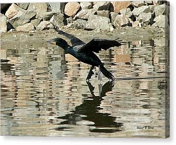 Landing Cormorant Canvas Print by Stephen  Johnson