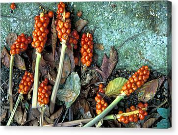 Large Cuckoo Pint (arum Italicum) Canvas Print by Dr Keith Wheeler