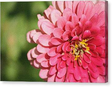 Canvas Print featuring the photograph Large Pink Zinnia by Donna  Smith