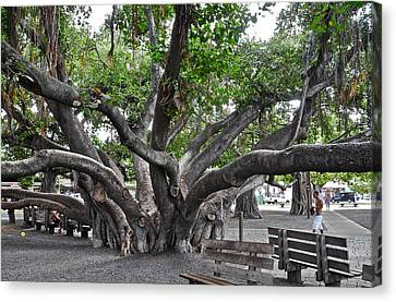Canvas Print featuring the photograph Largest Banyan Tree In The Usa by Kirsten Giving