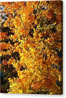 Late Day Brilliance Canvas Print by Will Borden