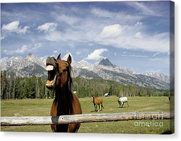 Laughing Horse Canvas Print by Porterfld and Chickerng and Photo Researchers