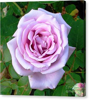 Canvas Print featuring the photograph Lavendar Rose by Alys Caviness-Gober