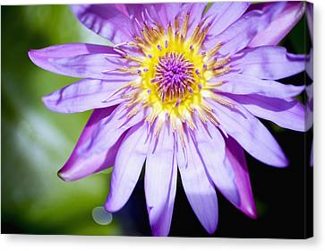 Lavendar Water Lily Canvas Print by Kicka Witte