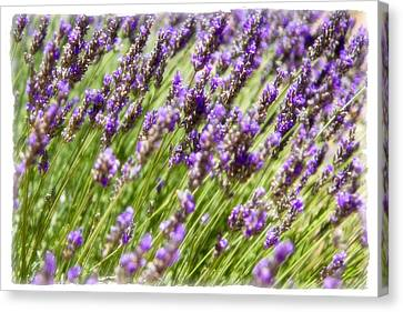 Canvas Print featuring the photograph Lavender 2 by Ryan Weddle