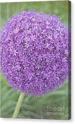 Lavender Ball Canvas Print