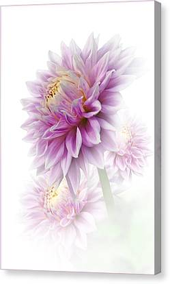 Lavender Dahlia Canvas Print