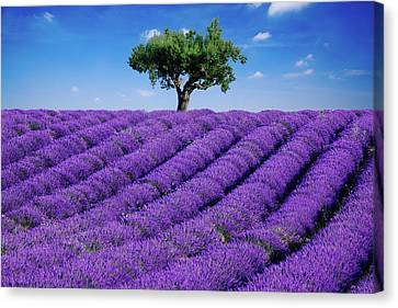 Lavender Field And Tree Canvas Print by Matteo Colombo