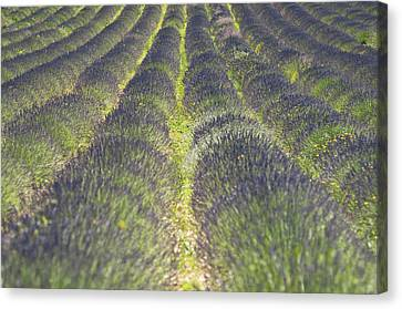 Lavender Field Canvas Print by Yves ANDRE