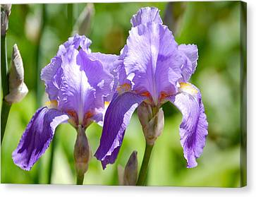 Lavender Iris II Canvas Print