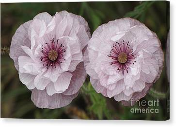 Canvas Print featuring the photograph Lavender Poppies by Michele Penner