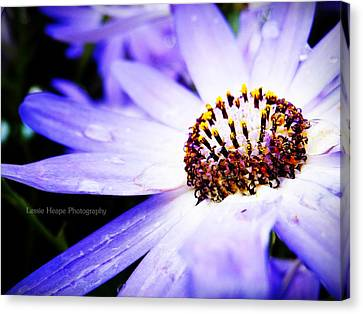 Lavender Senetti Canvas Print by Lessie Heape