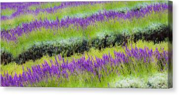Canvas Print featuring the photograph Lavender2 by Ryan Weddle