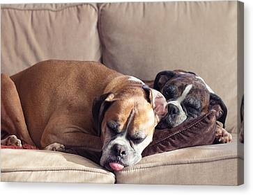 Lazy Boxers Canvas Print by Stephanie McDowell