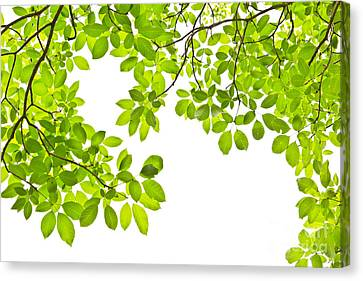 Leaf Isolated On White Background Canvas Print by Mongkol Chakritthakool
