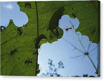 Leafcutter Ant Atta Columbica Workers Canvas Print by Christian Ziegler
