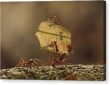 Leafcutter Ant Atta Sp Group Carrying Canvas Print by Cyril Ruoso