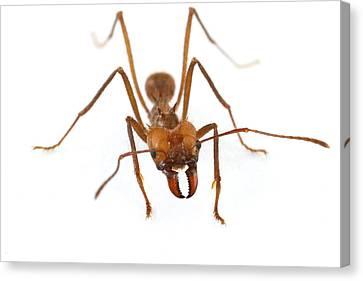 Leafcutter Ant Worker Costa Rica Canvas Print by Piotr Naskrecki