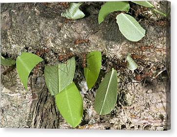 Leafcutter Ants Carrying Leaves Canvas Print by Bob Gibbons