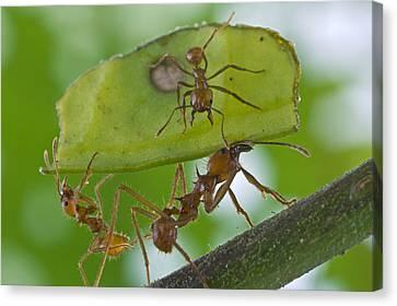 Leafcutter Ants Costa Rica Canvas Print by Piotr Naskrecki