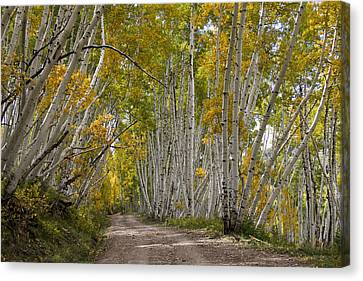 Leaning Aspens Canvas Print