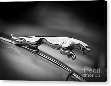 Leaping Jaguar Canvas Print by Clare Bambers