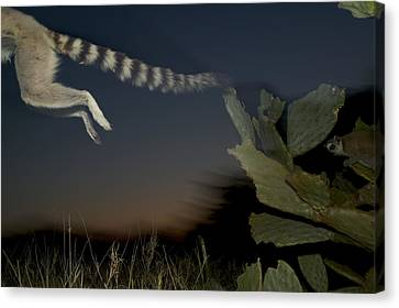 Leaping Ring-tailed Lemur  Canvas Print by Cyril Ruoso