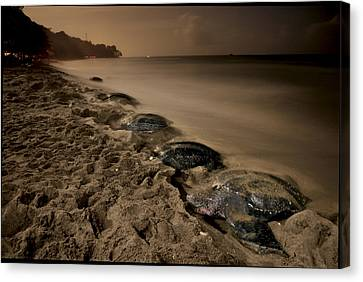 Leatherback Turtles Nesting On Grande Canvas Print by Brian J. Skerry