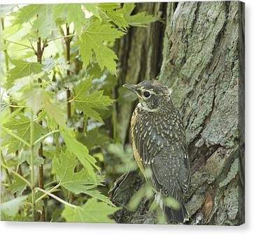Leaving Home-young Robin Canvas Print
