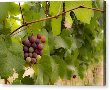Pinot Noir Canvas Print - Leftover Grapes by Jean Noren