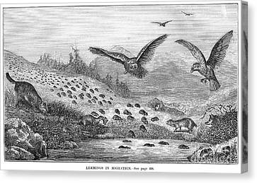 Lemming Migration Canvas Print by Granger