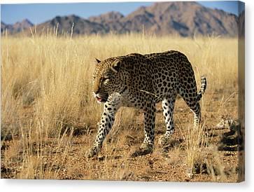 Leopard Panthera Pardus Walking, Africa Canvas Print by Winfried Wisniewski