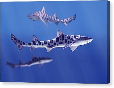 Leopard Sharks Triakis Semifasciata Canvas Print by Don Hammond