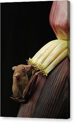 Lesser Long-tongued Fruit Bat Canvas Print by Ch'ien Lee