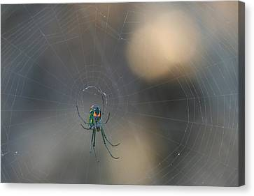 Leucauge Venusta Canvas Print by Sean Green