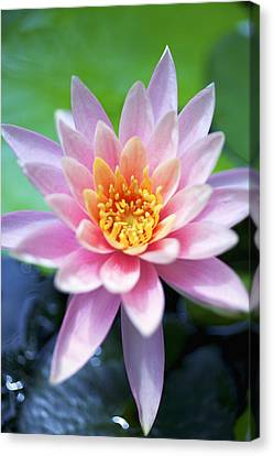Light Pink Water Lily Canvas Print by Kicka Witte