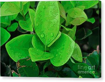 Ligustrum Canvas Print