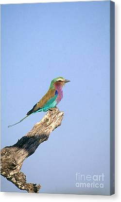 Lilac-breasted Roller Canvas Print by Gregory G. Dimijian