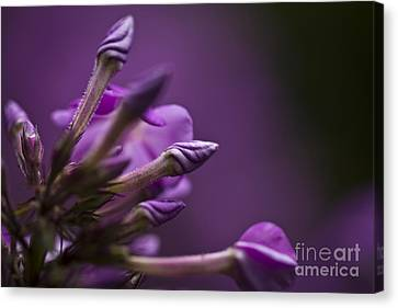 Canvas Print featuring the photograph Lilac Spirals. by Clare Bambers