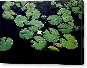Lily Alone Canvas Print by May Photography