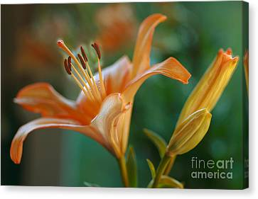 Lily Blossoms Canvas Print by Anita Antonia Nowack