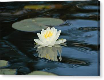 Lily In The Current Canvas Print