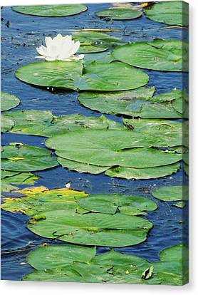 Lily Pads-two Canvas Print by Todd Sherlock