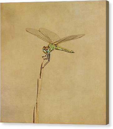 Lime Green Dragonfly Canvas Print by Paul Grand Image