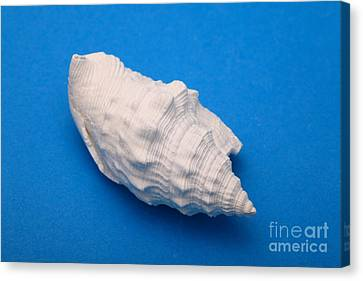 Lime Made From A Seashell Canvas Print by Ted Kinsman