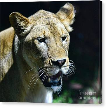 Lion - Endangered Species - Wildlife Canvas Print by Paul Ward