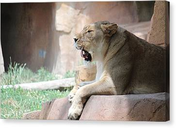 Lion At Brookfield Zoo In Chicago Il Canvas Print