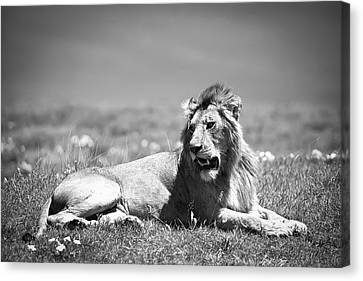 Lion King In Black And White Canvas Print by Sebastian Musial