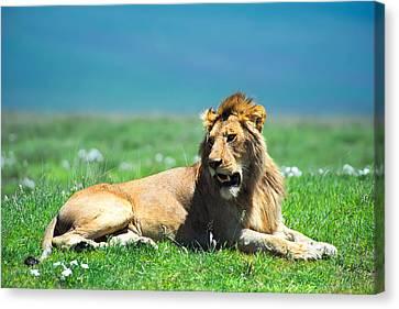 Lion King Canvas Print by Sebastian Musial