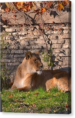 lion Territory Canvas Print